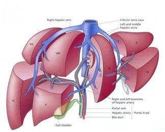 Liver diaphragm
