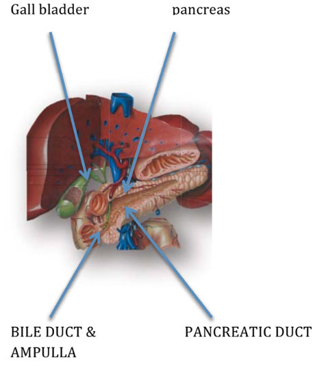 What is pancreas?